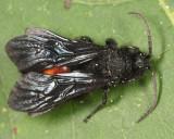 Dasymutilla bioculata (male)
