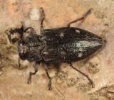 Chrysobothris sexsignata