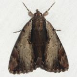 8857 - Ultronia Underwing - Catocala ultronia
