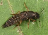 Platydracus viridanus