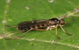 Dialysis elongata (male)