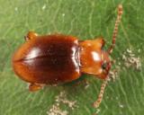 Lycoperdina ferruginea