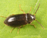 Hymenorus niger