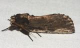 8005 – Morning-glory Prominent Moth – Schizura ipomoeae