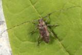 Sternidius misellus