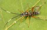 Ambloplisus ornatus (male)