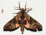 7824 - Blinded Sphinx - Paonias excaecata