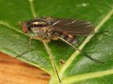 Dolichopus longipennis