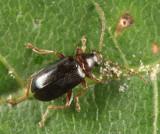 Luperaltica nigripalpis