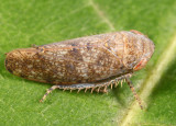 Paraphlepsius dentatus