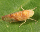Platymetopius vitellinus