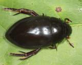 Hydrophilus ovatus