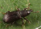 Phloeophagus apionides