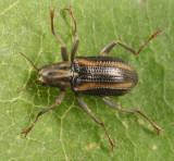 Riffle Beetles - Elmidae