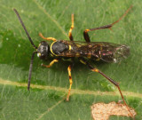 Ceropales maculata