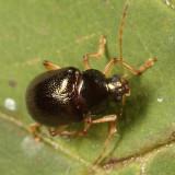 Rhabdopterus praetexus or deceptor