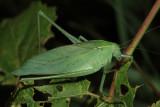 Amblycorypha oblongifolia (female)
