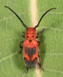 Blackened Milkweed Beetle - Tetraopes melanurus