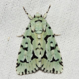 9281 - Green Marvel - Agriopodes fallax