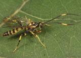 Cratichneumon paratus (male)