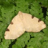 7647 - Three-spotted Fillip - Heterophleps triguttaria