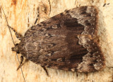 9638 - Copper Underwing - Amphipyra pyramidoides