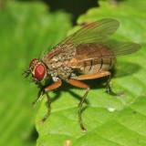 Tiger Fly - Coenosia sp.