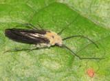 Fungus ridden Caddisfly
