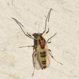 Cricotopus sylvestris