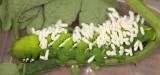 7775 - Tobacco Hornworm (parasitized by Cotesia congregata) - Manduca sexta