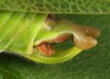 Fork-tailed Bush Katydid - Scudderia furcata