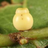 Dryocosmus rileyi