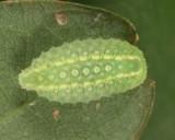 4665 - Yellow-shouldered Slug - Lithacodes fasciola