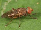 Atrichomelina pubera