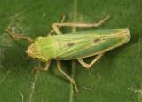 Draeculacephala noveboracensis