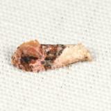 3847 – Holland's Cochylid Moth – Thyraylia hollandana