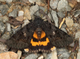 8775 -  Sweetfern Underwing - Catocala antinympha