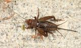 Tinkling Ground Cricket - Allonemobius tinnulus