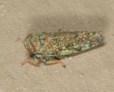 Japanese Leafhopper - Orientus ishidae