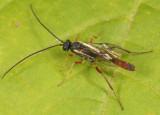 Cymodusa distincta