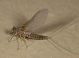 Callibaetis floridanus (female subimago)