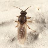 Atrichopogon peregrinus