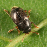 Brachypterus urticae