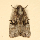 9404 - Black-banded Brocade - Oligia modica