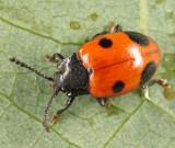 Endomychus biguttatus