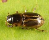 Aphodius pseudolividus
