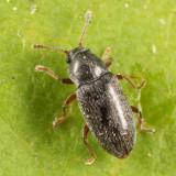 Telmatophilus americanus