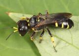 Ectemnius maculosus