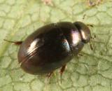 Paracymus subcupreus