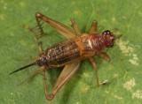 Anaxipha exigua